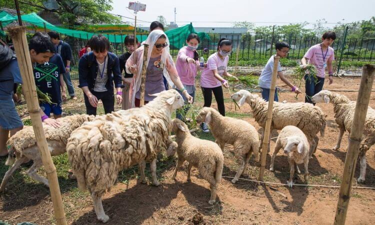 Chăn cừu trong khu du lịch (nguồn Internet)