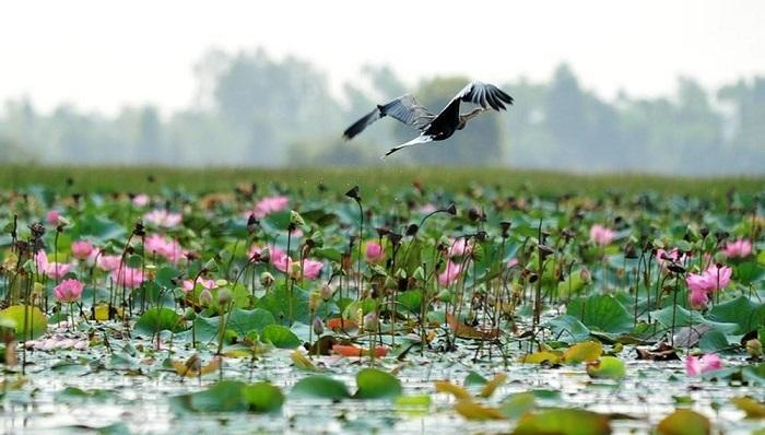 Cánh đồng hoa sen Đồng Tháp ở vườn quốc gia